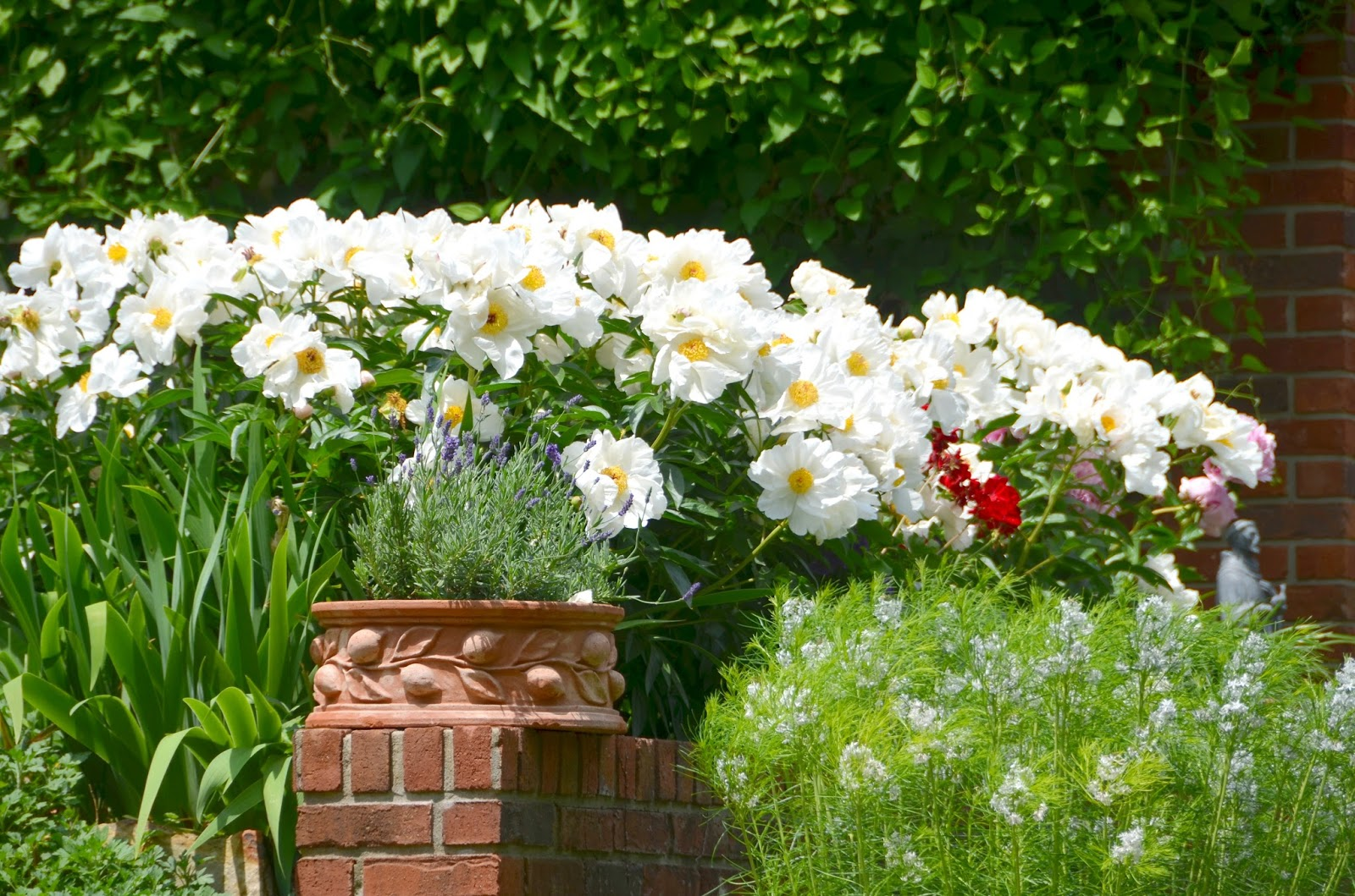 Southern peony 2015 move single white peonies to front of house - Growing peonies in the garden ...