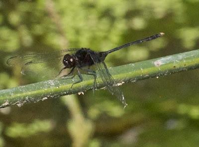 Pin-tailed Pondhawk (Erythemis plebja)