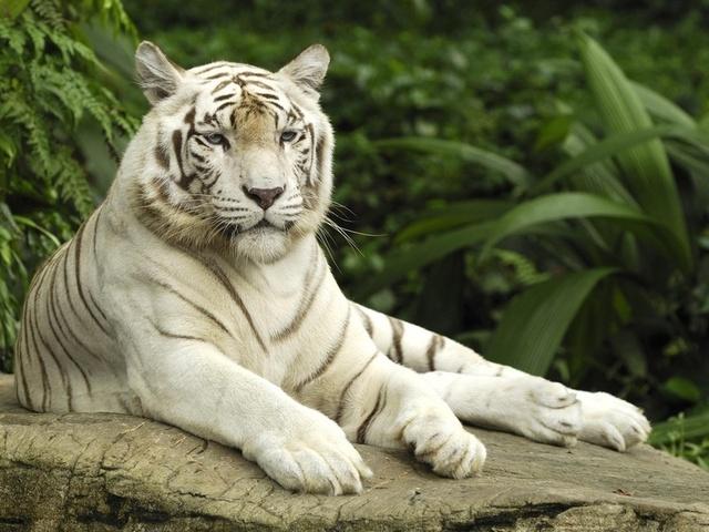 """Схема вышивки """"Белый тигр"""