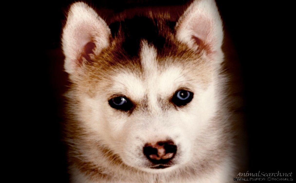 Cute Husky Puppys   Wild Animal Live