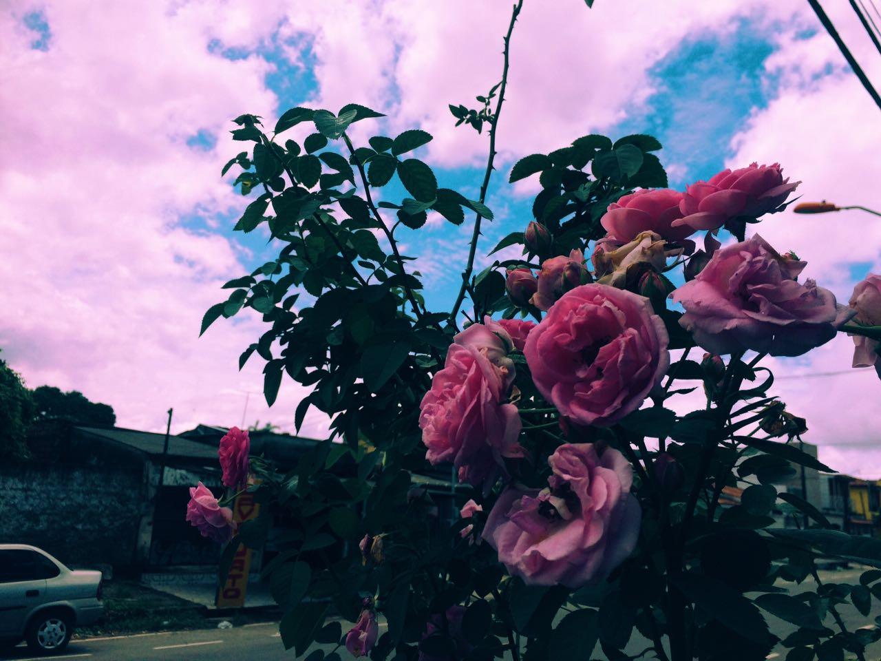 Minha Rosa