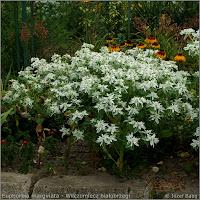 Euphorbia marginata   Growth Habit of flowering plant   - Wilczomlecz białobrzegi   pokrój kwitnącej rośliny