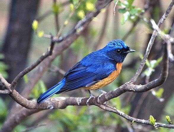 Burung Anis Merah Terbaik
