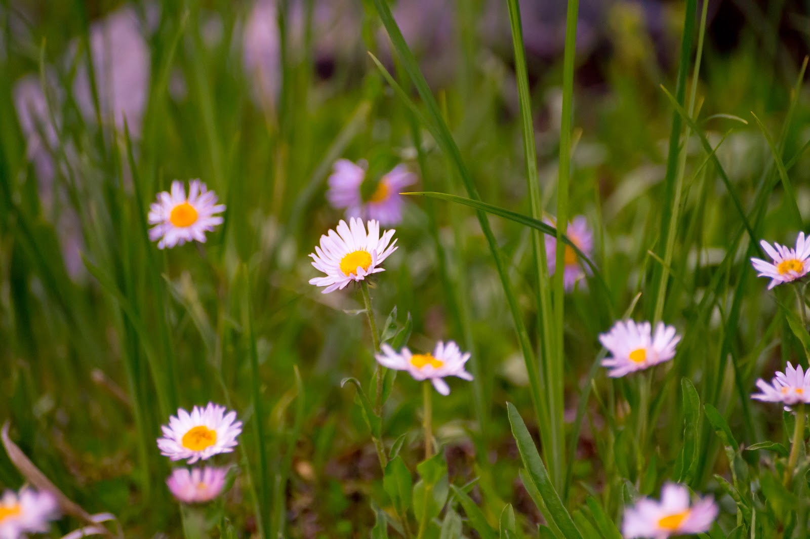 альпийские цветы