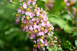 dwarf barbados cherry