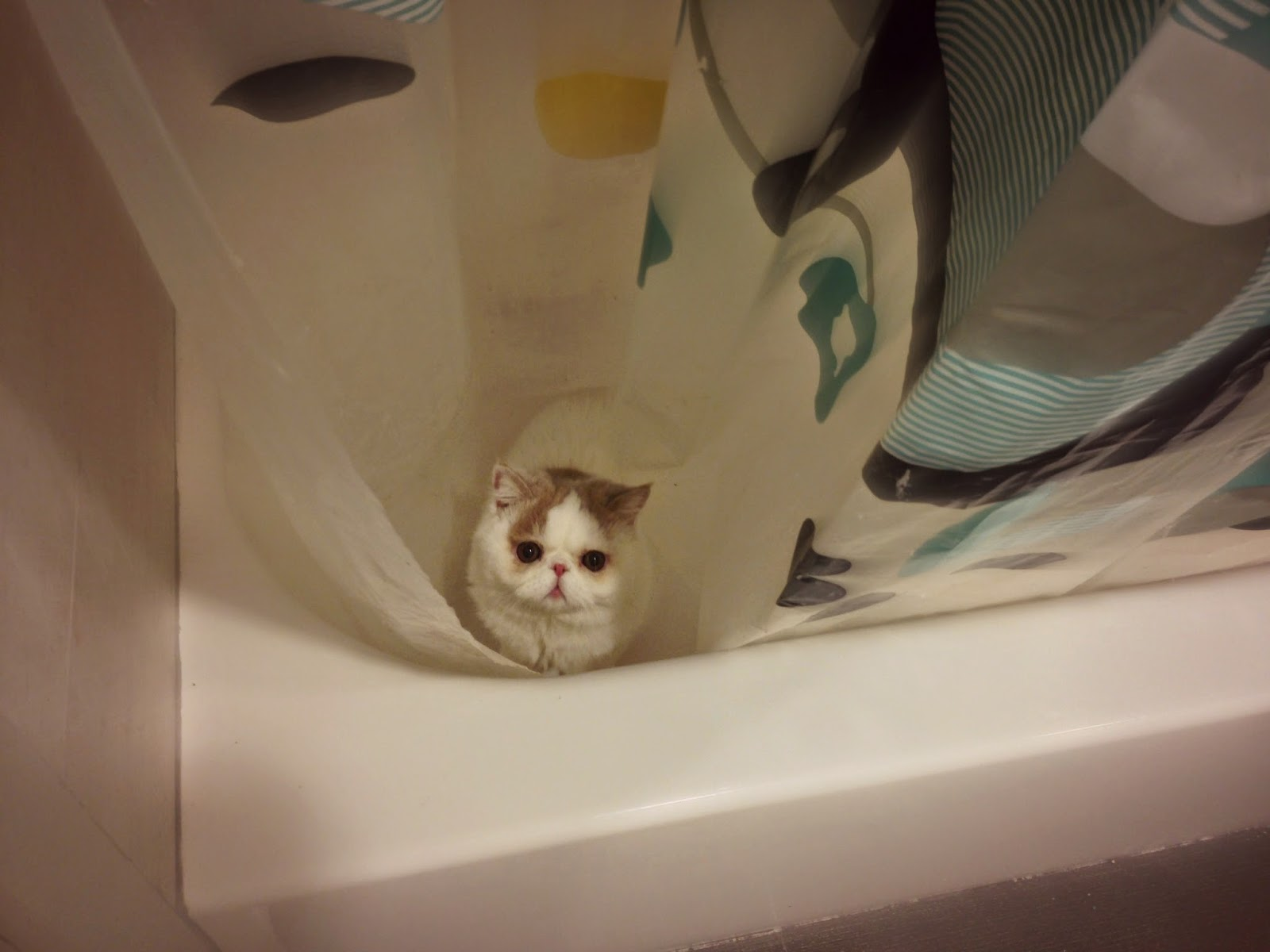 Kitten Shower Curtain Party with Family | ♥ SweetFurr ♥