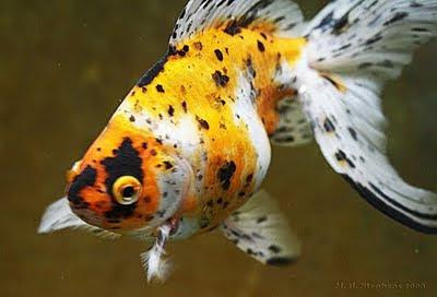 Shubunkin Goldfish 3