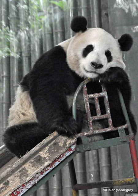Panda, Shanghai, China