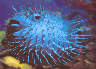 pufferfish 3