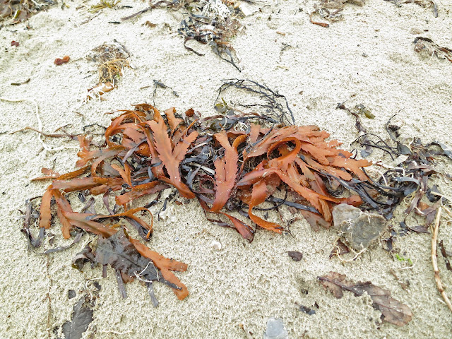Red Serrated Wrack - Fucus Serratus - on sand.