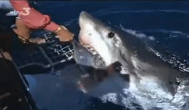 Valerie Taylor hand feeds and pets a great white in documentary Shadow of the Shark