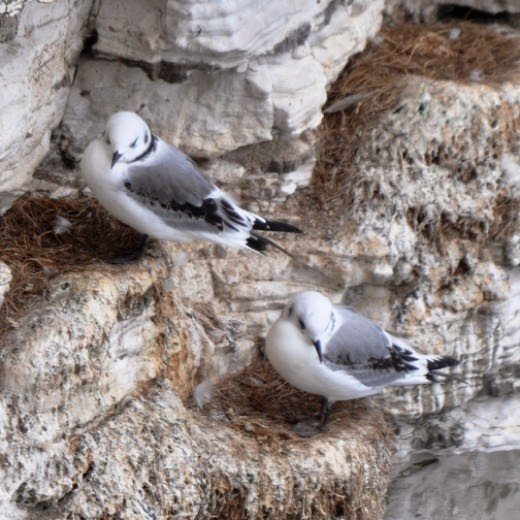Kittiwakes at Bempton Cliffs