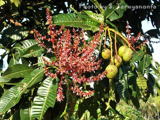 bunga bacang