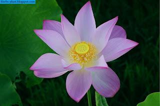 صور زهرة اللوتس