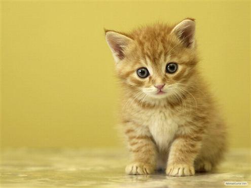 Gambar kucing kuning lucu