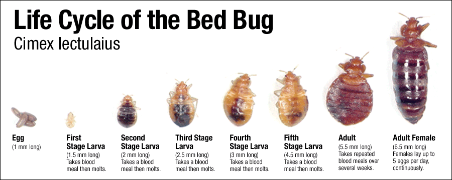 How to get rid of bed bug bites fast on skin what can u do to get ant rid ingredients diy bed bug trap yeast termite pest control gold coast ccuart Choice Image