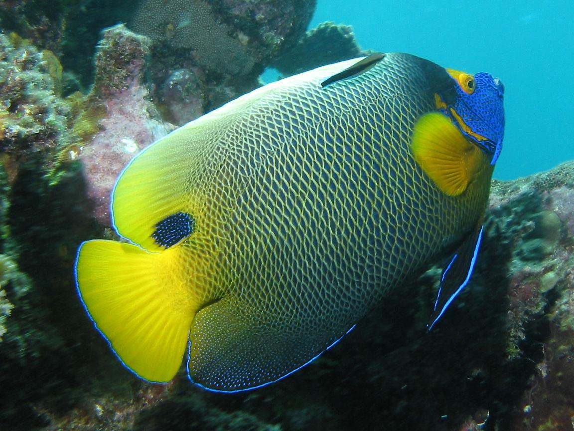 http://3.bp.blogspot.com/-zw-fGwuL4vs/UDIjvX8u30I/AAAAAAAAFEw/BkDJpoqVHVE/s1600/Yellow+Mask+Angel+Fish+Undersea.jpg