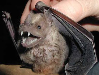 Colmillos de un murciélago
