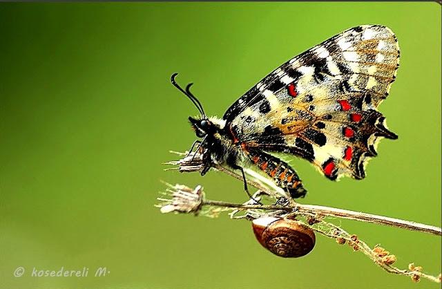orman fisto kelebeğinin kanat altı fotoğrafı