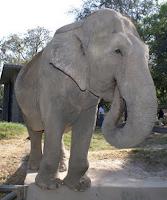 Cuando moría Manyula: un par de días antes de su muerte; elefanta Manyula