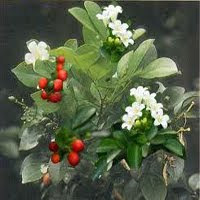Daun Kemuning  (Murraya paniculata)