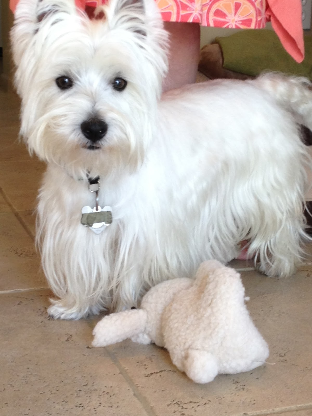 Cairn terriers, Terriers and Haircut styles on Pinterest