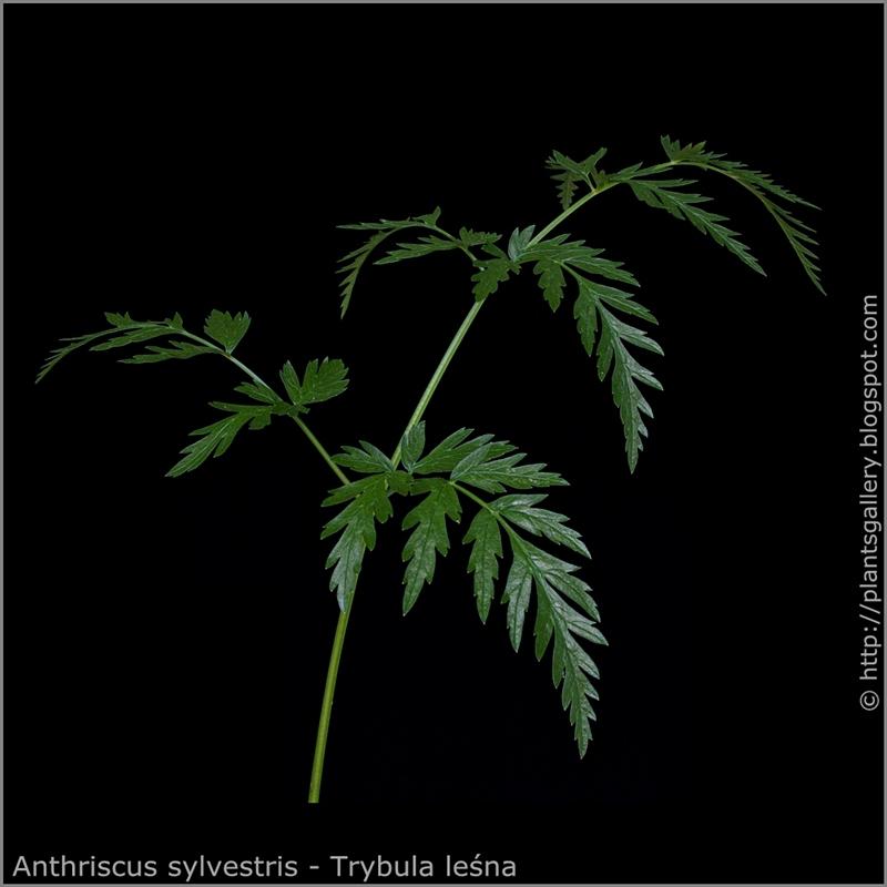 Anthriscus sylvestris leaf - Trybula leśna liść