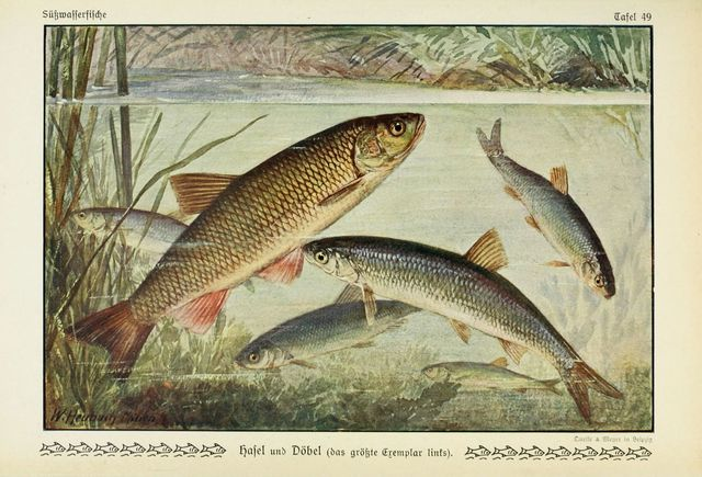 http://phys.org/news/2016-01-fish-ladders-genetic-exchange.html