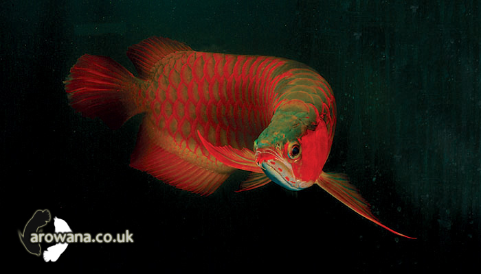 Origin and introduction about arowana fish for The history of fish