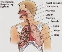 obat tradisional penyakit radang paru paru