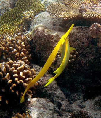 The yellow Trumpetfish.