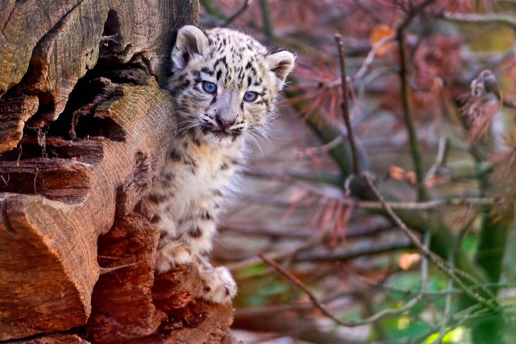 snow leopard conservancy, Ladakh snow leopard