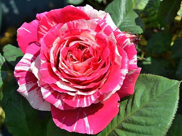 Best Impression rose сорт розы фото