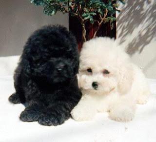 Anakan Anjing poodle