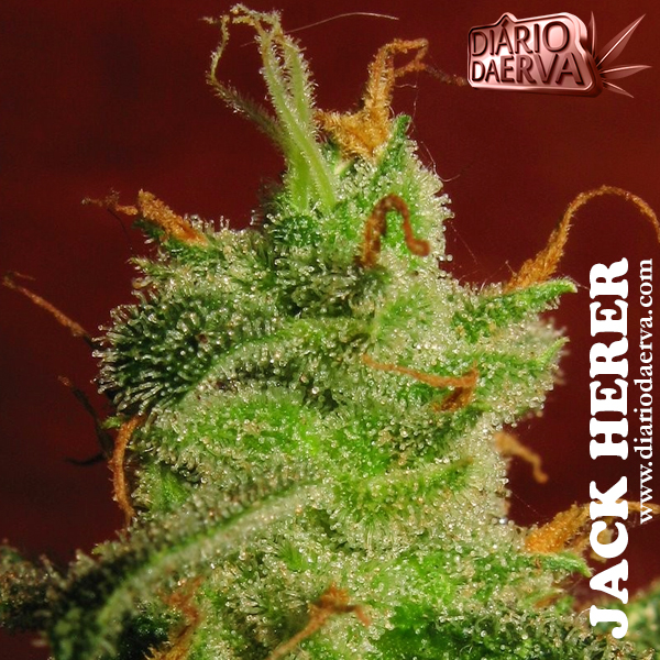 Jack Herer - Sensi Seeds
