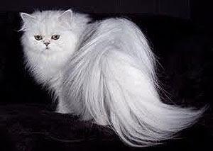Cara Merawat Bulu Kucing Persia Agar Lebat Tidak Rontok
