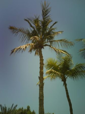 palm trees in sun