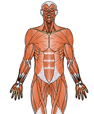 http://www.educaplus.org/play-60-Sistema-muscular.html