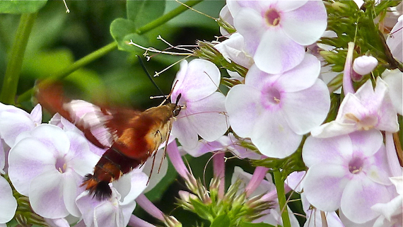 hummingbird moth and pink phlox flower image taken at the Green Bay Botanical Gardens in Wisconsin