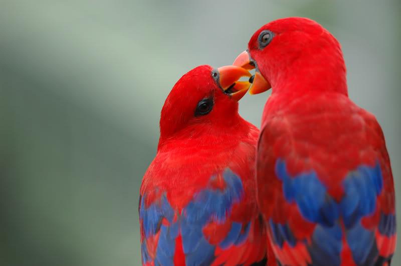 wallpapers of love birds. Love Birds Wallpapers for