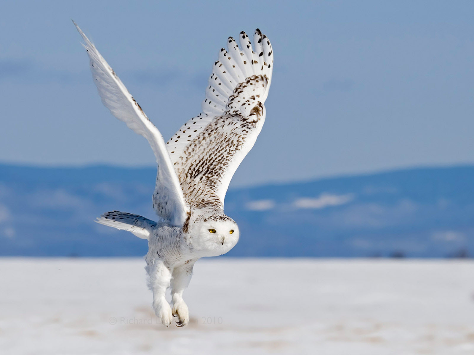 white owl The regal snowy owl is one of the few birds that can get even non-birders to come out for a look this largest (by weight) north american owl shows up irregularly in winter to hunt in windswept fields or dunes, a pale shape with catlike yellow eyes.