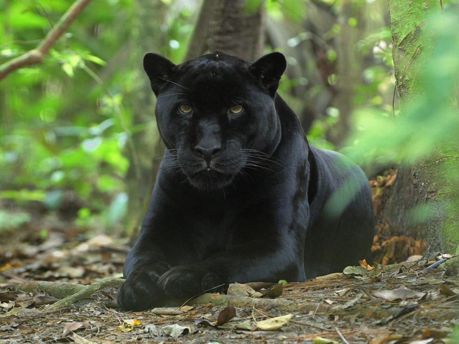 animals black leopard