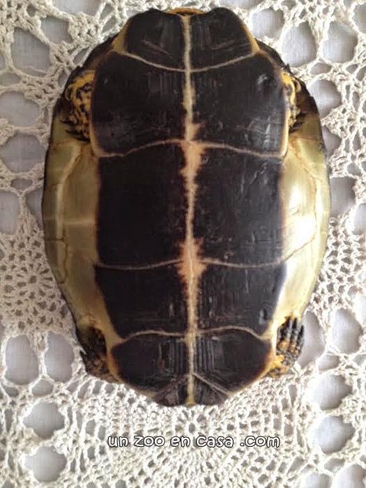 Rhinoclemmys annulata, plastrón