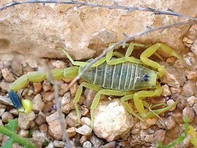Foto kalajengking Deathstalker (Deathstalker Scorpion)