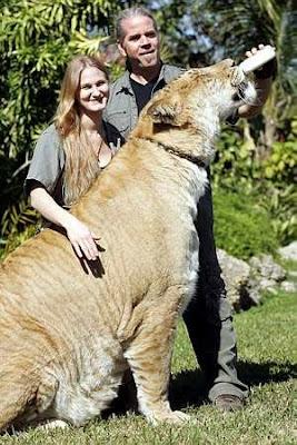 Singa Selamatkan Gadis Dari Penculikan - www.jurukunci.net