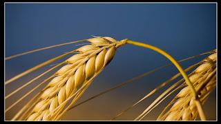 الاعجاز النبوي في فوائد نخالة القمح