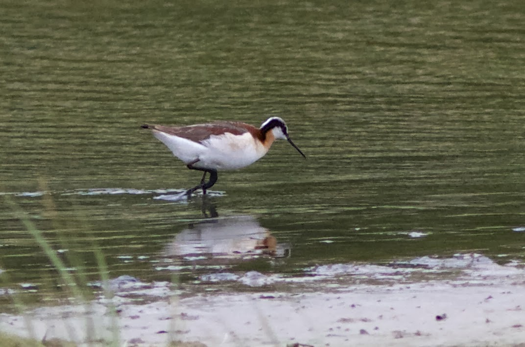 Female, Summer plumage, Isle of Wight