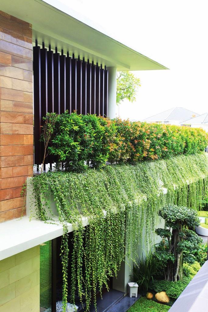 lee kwan yew | jual tanaman rambat | tanaman menjuntai | tanaman hias