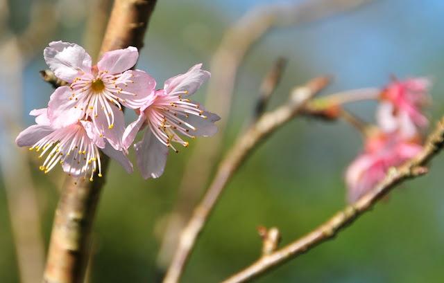 sakura jardim japonês