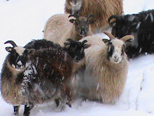 Cascade Sheep